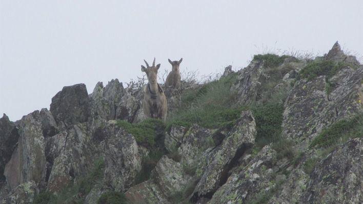 Las cabras salvajes destruyen el 68% de los tejos inventarios