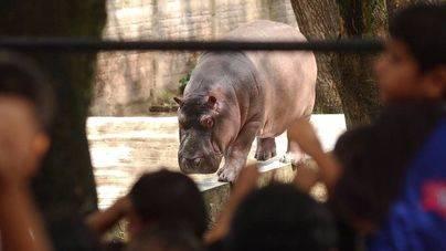 Muere el hipopótamo Gustavito tras una paliza con hierros y piedras