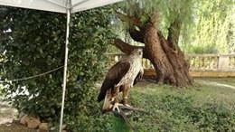Veinticuatro ejemplares de Águila de Bonelli vuelan por Mallorca