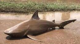Aparece un tiburón en un camino de tierra tras el ciclón Debbie