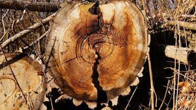 Los árboles caídos por el cap de fibló, peligroso foco de incendios