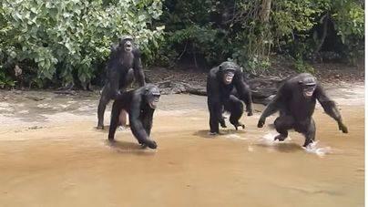 Salvan a los chimpancés abandonados en una isla de África