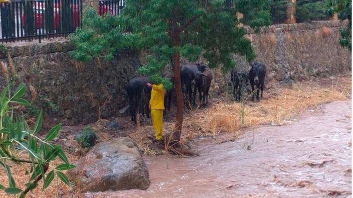 Las burras que limpian el torrente de Esporles quedan atrapadas por las lluvias durante horas