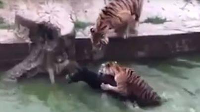 Alimentan a los tigres con un burro vivo en un zoo de China