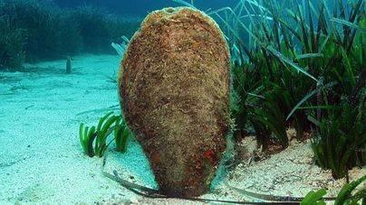 Habita en fondos de hasta 60 metros de profundidad