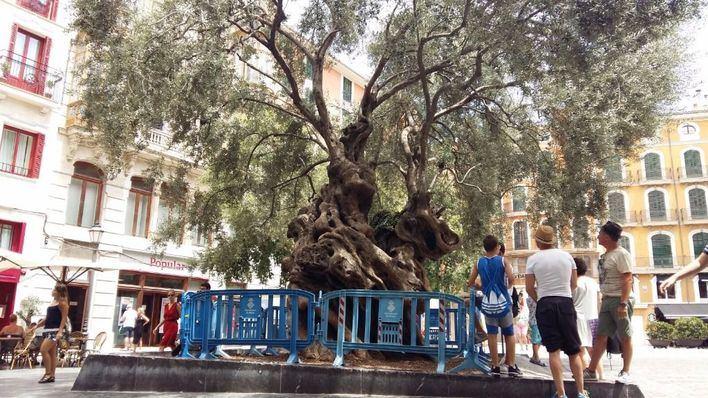 Cort pone vallas alrededor del olivo de la plaza para que no se suba gente