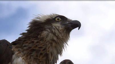 Cabrera tiene la población de águilas pescadoras más grande del mediterráneo