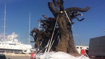Extremadura informa a los pasajeros que van a Mallorca sobre la Xylella