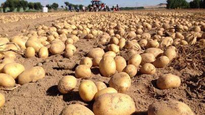 Cada español consume al año 30 kilos de patatas
