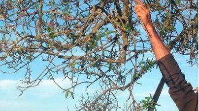 'La Xylella es un incendio silencioso, una barbaridad de árboles mueren cada día'