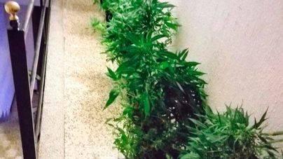 Dos policías dan con 16 plantas de marihuana en un balcón en s'Arenal alertados por el olor