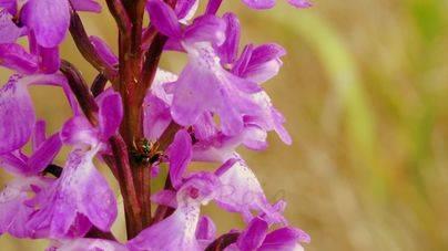 Mallorca alberga unos 5.500 ejemplares de orquídea de Prat