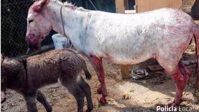 Dos perros atacan a una burra en Palma