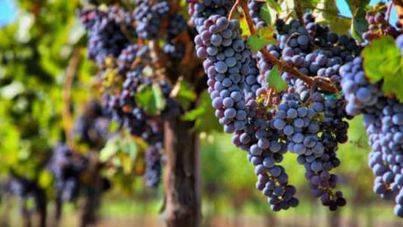 El Fondo de Garantía Agraria suma nueve millones de ayudas al sector vitivinícola balear en tres años