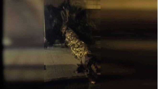 Cae una palmera sobre la acera del Passeig Marítim de Palma
