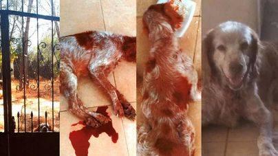 Condena a un cazador de Algaida por maltratar a su perro durante años