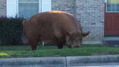 Un cerdo de 360 kilos se pasea por Alabama y se hace famoso en las redes