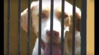 25 perros esperan la adopción para evitar el sacrificio en Son Reus