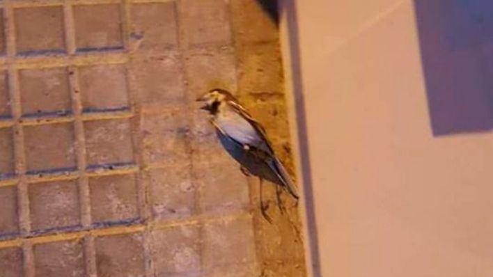 Denuncian que una pantalla publicitaria luminosa está matando a los pájaros en Palma