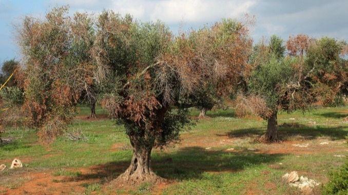 Árbol infectado con la Xylella