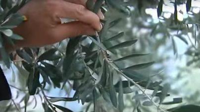 Técnicos de Agricultura buscan controlar la plaga de la xylella con científicos italianos