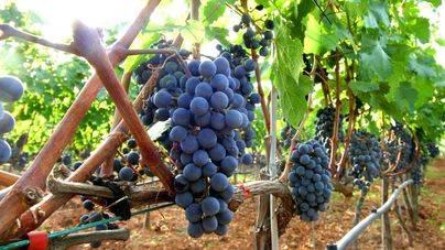 La producción de vino de calidad de Balears disminuye un 10% respecto a 2016