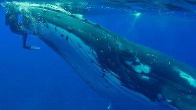 Una bióloga comparte la historia de la ballena jorobada que la salvó de un tiburón