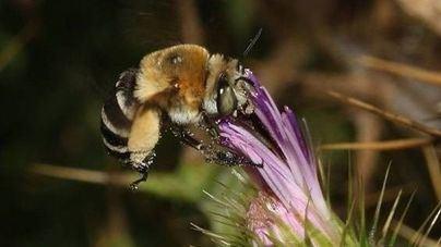 Descubren un total de 195 especies de abejas en S'Albufera
