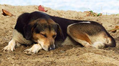 Los perros no pueden dormir cuando tienen preocupaciones