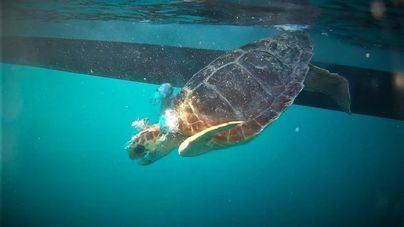 Liberan dos tortugas en sa Dragonera después de tres meses en rehabilitación