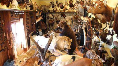 Incautan en Mallorca de 69 trofeos de caza de especies protegidas