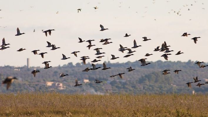 Los humedales baleares acogen 30.000 aves este invierno