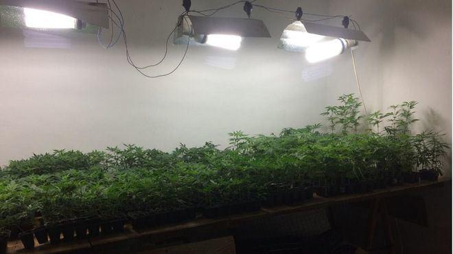 Cazados llevando 98 plantas de marihuana de Son Gotleu a S'Indioteria