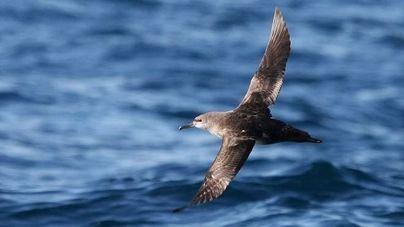 Estudian con GPS la interacción de las aves y los barcos pesqueros