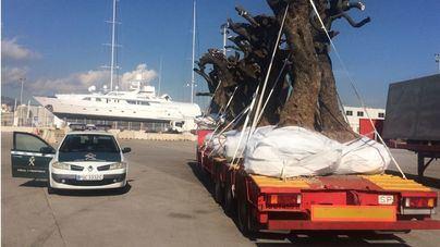 Comisarios europeos vigilan en los puertos y en el aeropuerto de Palma la contención de la xylella