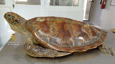 Investigan a dos personas de Sant Joan que tenían una tortuga verde disecada