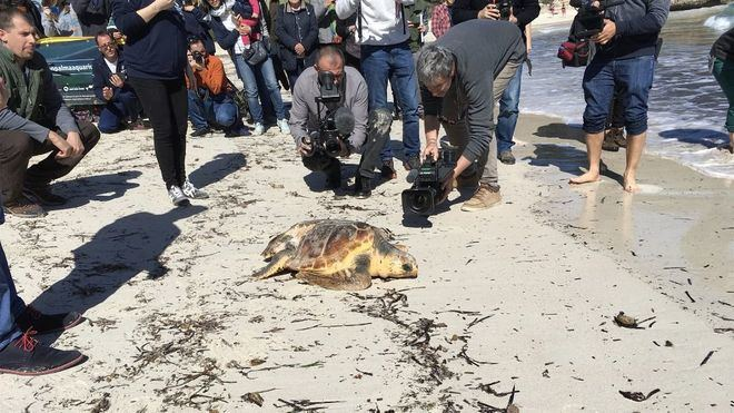 Liberan en la playa de s'Amarador de Santanyí a dos tortugas rehabilitadas