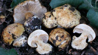 Hallan dos nuevas especies de hongos en espacios protegidos de Baleares
