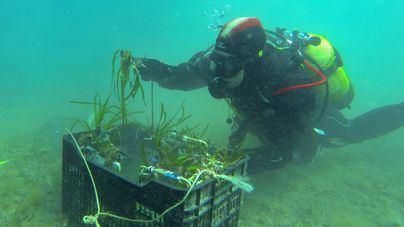 Red Eléctrica y el IMEDEA inician las plantaciones de 'Posidonia oceanica' en la bahía de Pollença