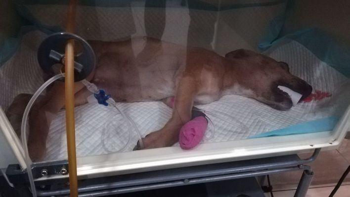 Apaleada y en un contenedor de Son Ferriol: así hallaron a Vida, una cachorra de tres meses