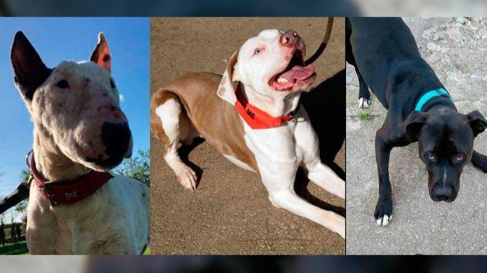Nuevo desfile de perros abandonados de Palma para encontrarles casa