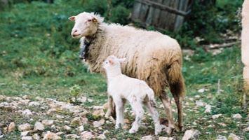 Balears dispone de un catálogo genético de 11 razas autóctonas en peligro de extinción