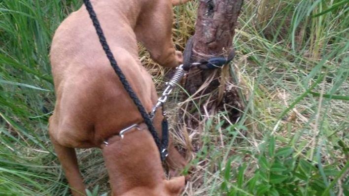 Atan un pitbull a un árbol en un bosque de Esporles y lo abandonan