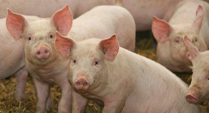 Científicos advierten que un virus del cerdo mortal podría pasar a las personas