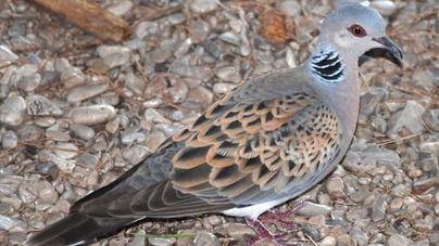 El GOB pide al Consell una 'moratoria inmediata' en la caza de la tórtola