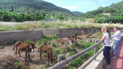 Andratx destina una manada de burros a limpiar los torrentes