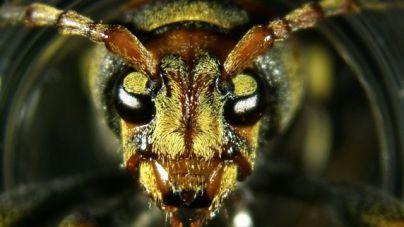 Alertan de una plaga de escarabajos asiáticos que mata las moreras