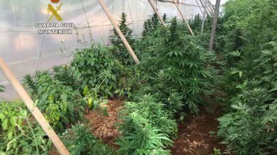 Detenido por cultivar marihuana en Campos