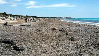 Terraferida pide que se dejen las algas en Sa Ràpita en lugar de chiringuitos, hamacas y sombrillas