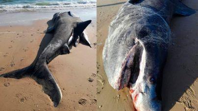Aparece muerto un tiburón de diez metros en Doñana